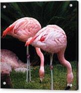 Animal - Flamingo - A Set Of Flamingoes Acrylic Print