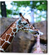 Animal - Giraffe - Sticking Out The Tounge Acrylic Print