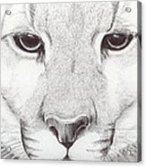 Animal Kingdom Series - Mountain Lion Acrylic Print