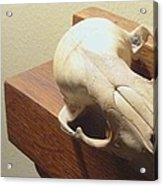 Animal Skull Mantel 2 12 2011 Acrylic Print
