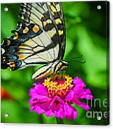 Anise  Swallowtail Butterfly Acrylic Print