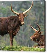 Ankole Longhorns Acrylic Print