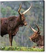 Ankole Longhorn 2 Acrylic Print
