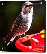 Anna's Hummingbird On Perch Acrylic Print