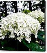 Annabelle Hydrangea Blossoms Acrylic Print