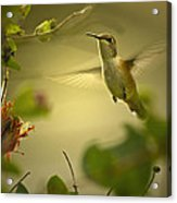 Rufus  Humming Bird  Acrylic Print