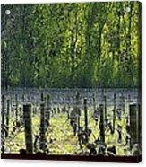 Anne Amie Vineyard 23126 Acrylic Print