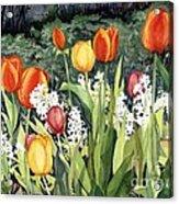 Ann's Tulips Acrylic Print