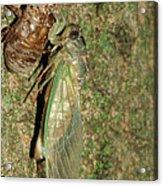 Annual Cicada Acrylic Print