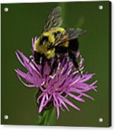 Another Bee? Acrylic Print