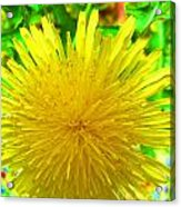 Another Variety Dandelion Acrylic Print