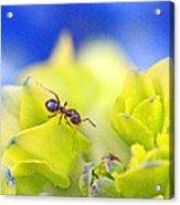 Ant And Hydrandea Acrylic Print