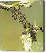 Ant Farm Acrylic Print