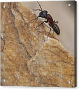 Ant Macro Acrylic Print