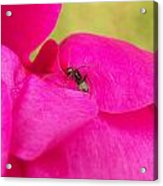 Ant On Pink Acrylic Print