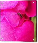Ant On Pink Petals Acrylic Print