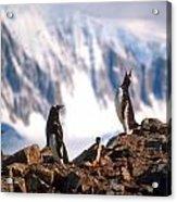 Antarctic Gentoo Penguins Acrylic Print