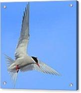 Antarctic Tern Acrylic Print by Tony Beck