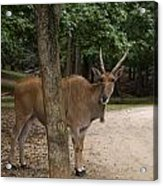 Antelope Behind A Tree Acrylic Print