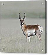 Antelope Buck Acrylic Print