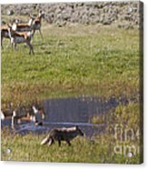 Antelope   Duck   And Coyote Acrylic Print