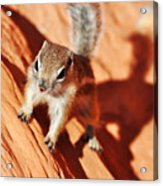 Antelope Ground Squirrel Acrylic Print