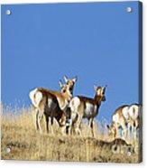 Antelope Herd   #0296 Acrylic Print