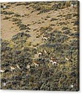 Antelope Herd Panorama  Signed   20x80 Acrylic Print