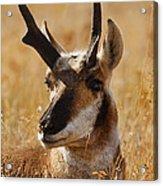 Antelope Acrylic Print