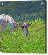 Antelope Near Wildlife Loop Road In Custer State Park-south Dakota- Acrylic Print
