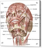 Anterior Neck And Facial Muscles Acrylic Print