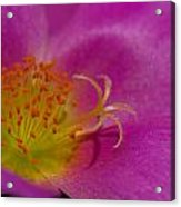 Anthers And Stamens Acrylic Print