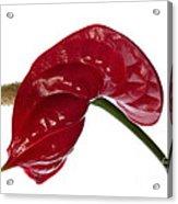 Anthurium - Backward Glance Acrylic Print