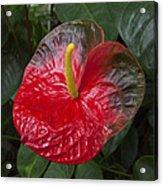 Anthurium Flamingo Flower Beauty Queen Fine Art Photography Print Acrylic Print
