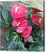 Anthurium Red Acrylic Print