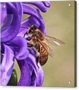 Anticipating The Nectar Acrylic Print