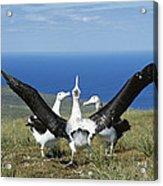 Antipodean Albatross Courtship Display Acrylic Print by Tui De Roy