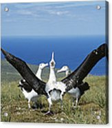 Antipodean Albatross Courtship Display Acrylic Print