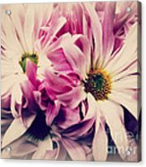 Antique Pink And White Daisies Acrylic Print