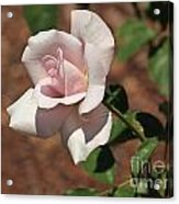 Apertif Tea Rose Acrylic Print