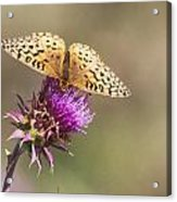 Aphrodite Butterfly On A Purple Thistle Acrylic Print