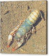 Appalachian Blue Crayfish Acrylic Print