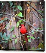 Appalachian Cardinal Acrylic Print