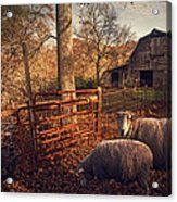 Appalachian Sheep Acrylic Print by William Schmid