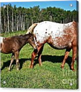 Appaloosa Mamma And Baby Acrylic Print