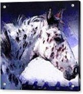 Appaloosa Pony Acrylic Print by Roger D Hale
