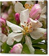 Apple Blooms Acrylic Print