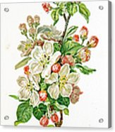 Apple Blossom 19 Century Illustration Acrylic Print