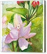 Apple Blossom And Buds Acrylic Print