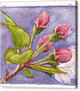 Apple Blossom Buds Acrylic Print